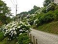 吉野山にて 七曲りのあじさい Hydrangea in Yoshinoyama 2011.7.02 - panoramio (2).jpg