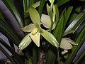 四季天鵝素 Cymbidium ensifolium 'Swan Plain' -香港沙田國蘭展 Shatin Orchid Show, Hong Kong- (12146895975).jpg