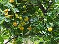 棗樹 Jujube Tree - panoramio.jpg