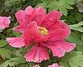 牡丹-飛舞 Paeonia suffruticosa 'Fluttering' -洛陽王城公園 Luoyang, China- (12537116665).jpg