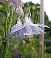 耬斗菜屬 Aquilegia viscosa (?) -哥本哈根大學植物園 Copenhagen University Botanical Garden- (36932495636).jpg