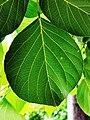 膠蟲樹 Butea monosperma 20201006101809 03.jpg