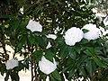 茶花 Camellia - panoramio (2).jpg