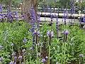 薰衣草 Lavender - panoramio.jpg