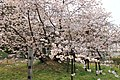 血脈桜 - panoramio.jpg