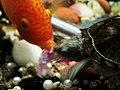 龜与魚 Turtle ^ Fish - panoramio.jpg