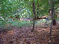 -2009-10-11 Trees next to Lions mouth, Felbrigg, Norfolk (1).JPG