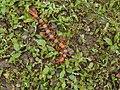 ... Tiger Centipede (Scolopendra hardwickei) (7544732904).jpg
