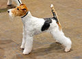 01 Wire Fox terrier.jpg