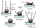 04 03 39 cuerpos fructíferos, Meliolales, Ascomycota (M. Piepenbring).png