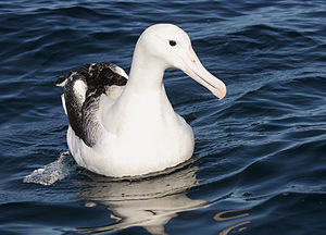 Procellariiformes - The southern royal albatross is one of the largest of the Procellariiformes.