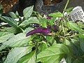 0998Ornamental plants in the Philippines 17.jpg