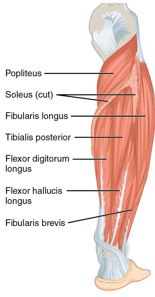 De musculus extensor digitorum longus is een skeletspier in de kuit die de vier kleine tenen helpt strekken De andere strekker is de korte tenenstrekker musculus