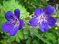 1489 - Nationalpark Hohe Tauern - Flowers.JPG