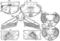 1911 Britannica-Arachnida-Limulus polyphemus8.png
