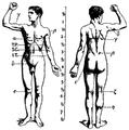 1911 Britannica - Anatomy - Muscular.png