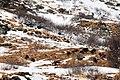 1 male Ibex (Steinbock) between 11 Chamois (Gemse) at Galtur Tirol - panoramio.jpg