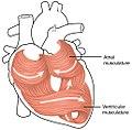 2006 Heart Musculature.jpg
