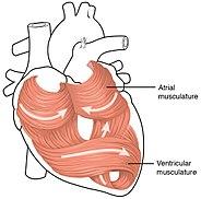 Coração Wikipédia A Enciclopédia Livre