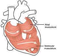 heart - wikipedia, Muscles
