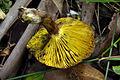 2010-04-05 Phylloporus clelandii Watling & Gregory 82405.jpg