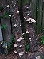 2011-09-18 Lentinula edodes (Berk.) Pegler 196907.jpg