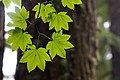 2011-365-206 Circle of Maple (5977316322).jpg