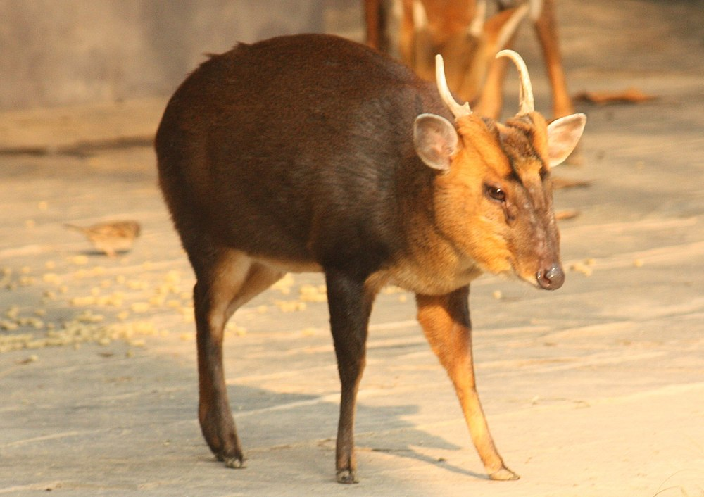 The average litter size of a Hairy-fronted muntjac is 1