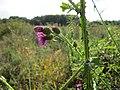 20120922Carduus acanthoides2.jpg