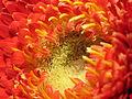 2014-01-03 14-02-17 asteraceae-19f.jpg