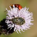 2014-07-03 12-47-40 coleoptera.jpg