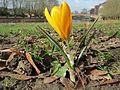 20140220Crocus chrysanthus3.jpg