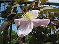 20140514Clematis montana Tetrarose.jpg