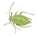 201412 green peach aphid.png