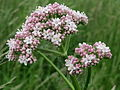 20150516Valeriana officinalis.jpg