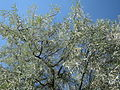 20150701Elaeagnus angustifolia2.jpg