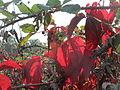 20151003Parthenocissus quinquefolia.jpg