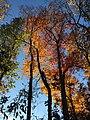 2017-11-10 15 59 24 View up into the canopy of several trees during late autumn within Hosepen Run Stream Valley Park in Oak Hill, Fairfax County, Virginia.jpg