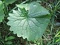 20170917Alliaria petiolata2.jpg