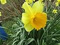 2018-04-17 Daffodils, (Narcissus), Sheringham common, Norfolk (2).JPG