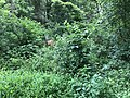2018-07-06 14 35 38 Two White-Tailed Deer bucks in a wooded area along a walking path in the Armfield Farm section of Chantilly, Fairfax County, Virginia.jpg