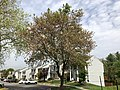 2019-04-25 11 49 54 A Red Maple heavily laden with mature seeds along Old Dairy Court in the Franklin Farm section of Oak Hill, Fairfax County, Virginia.jpg