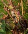 20190717 Leeuwenhorstbos - Bruine sprinkhaan (Chorthippus brunneus).jpg