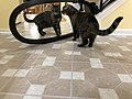 2020-01-19 18 07 58 A Tabby cat reacting to a mirror in the Franklin Farm section of Oak Hill, Fairfax County, Virginia.jpg