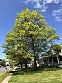 2020-05-02 12 24 23 A Pin Oak leafing out in spring along Hidden Meadow Drive in the Franklin Glen section of Chantilly, Fairfax County, Virginia.jpg