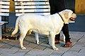 3064-labrador-standing (20505778121).jpg