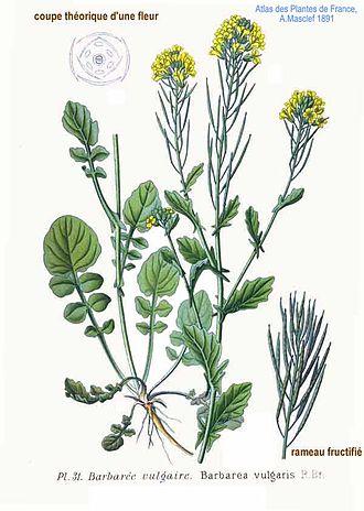 Barbarea vulgaris - Image: 31 Barbarea vulgaris R.Br