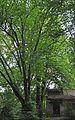 46-101-5037 Lviv Mushaka 54 Tilia Americana RB.jpg