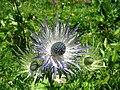 5692 - Schynige Platte - Eryngium alpinum.JPG