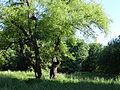 617683 A 683 Krakow Krzesławice Wankowicza 25 park w zespole dworsko parkowym 31.JPG